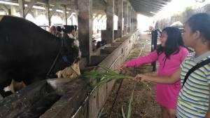 wisata keluarga bogor memberi makan sapi